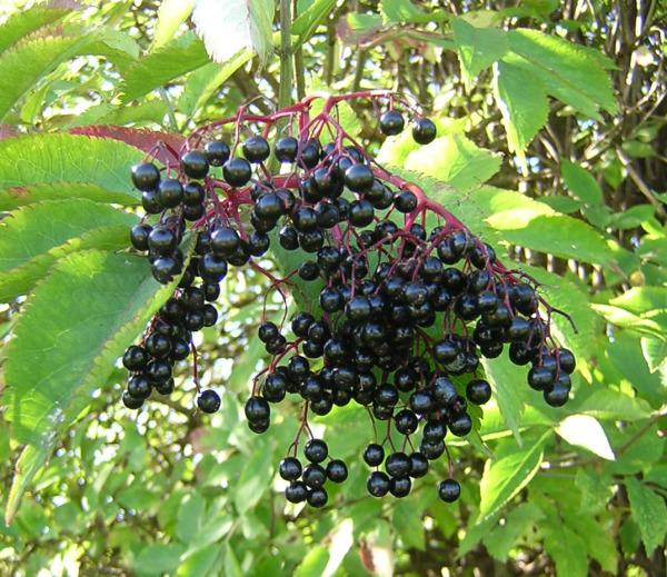Черная бузина – популярный лекарь в народной медицине