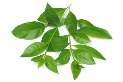Из этого растения – лавсонии, получают хну