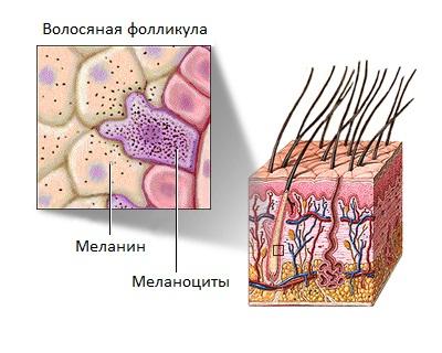 Меланин формируется из специальных клеток, которые называются меланоциты.