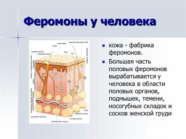 О феромонах
