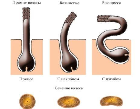 Схема расположения луковицы