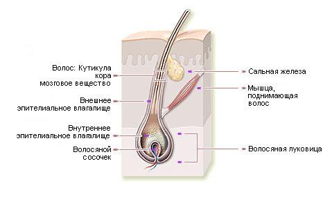 Волосяная луковица и слои кожи