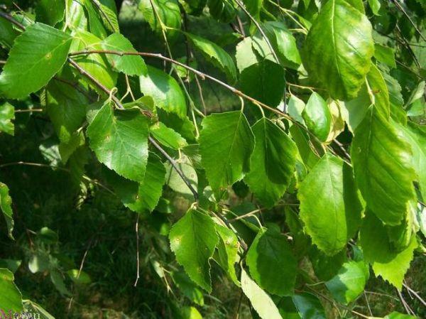 Березовые листья обеспечат дополнительное сияние