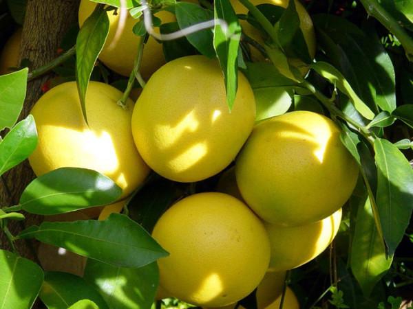 Дозревание фрукта