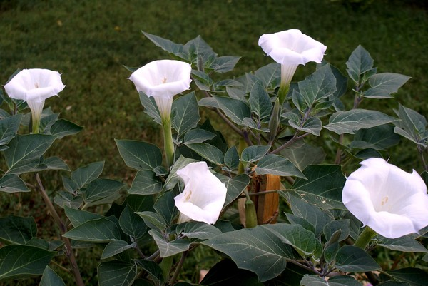 Дурман-трава цветет красивыми белыми цветами