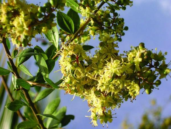 Фото лавсонии в период цветения