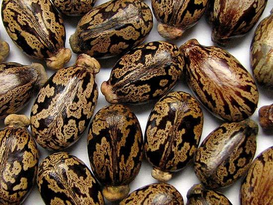 Фото семян клещевины, из которых изготавливают чудодейственный продукт для локонов
