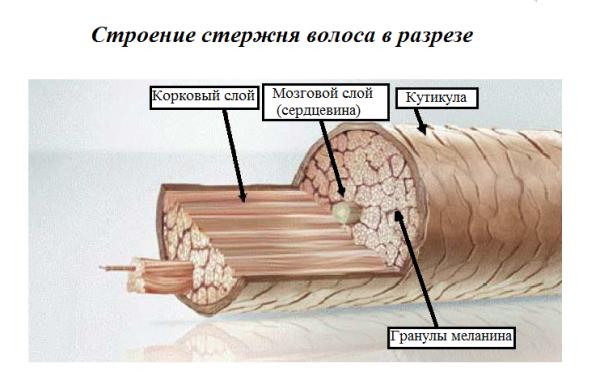 Фото структуры волосяного стержня
