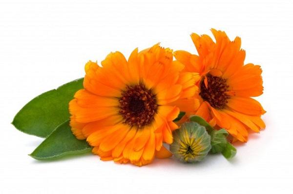 Фото цветков календулы, из которых готовят всевозможные экстракты.
