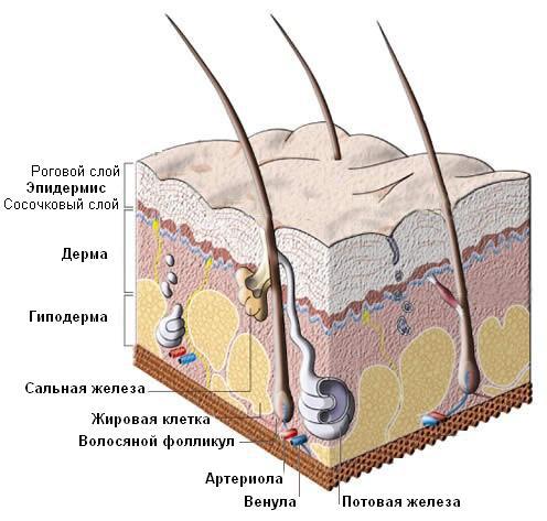 Главной причиной быстрого засаливания головы является нарушение работы сальных желез.