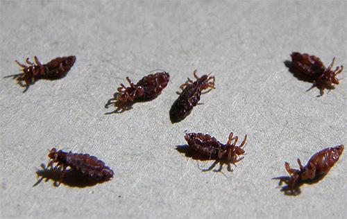 Химические вещества приводят к гибели паразитов