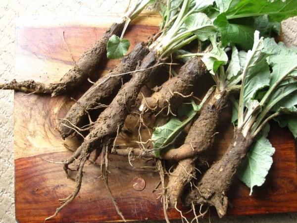 Корень свежего лопуха используется для приготовления натурального масла