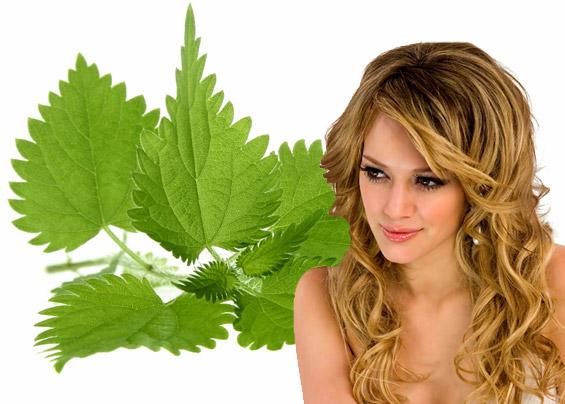 Крапива двудомная (свежая или сухая) в виде настоя возвратит волосам блеск и шелковистость.