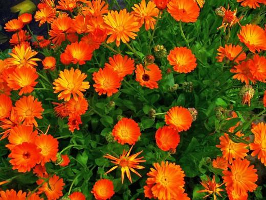 Красивый полевой цветок подарит локонам блеск и густоту.