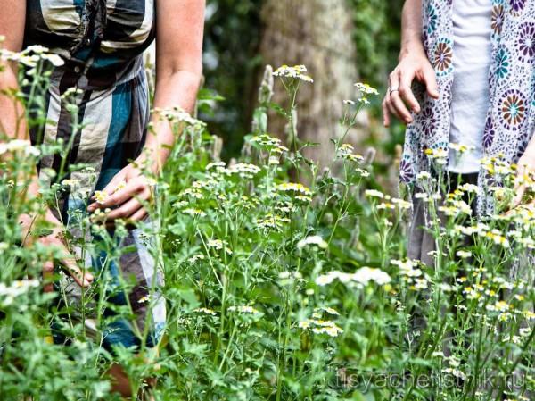 Лекарственные травы можно заготовить самостоятельно или же купить в аптеке