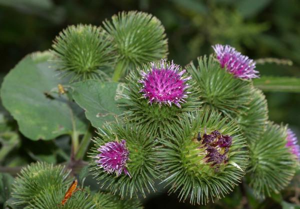 Листья и верхушки лопуха соберем еще при цветении: в июне - сентябре.