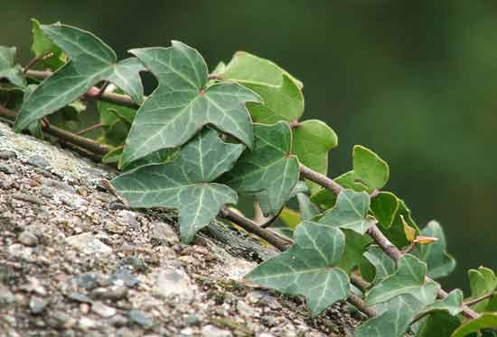 Листья плюща способствуют росту волос