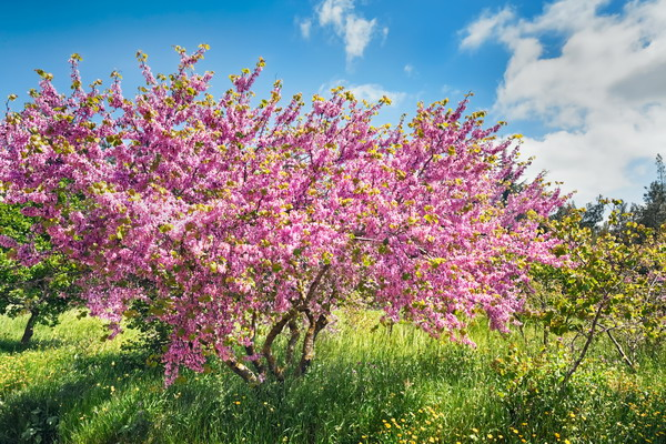 Миндальные сады Калифорнии