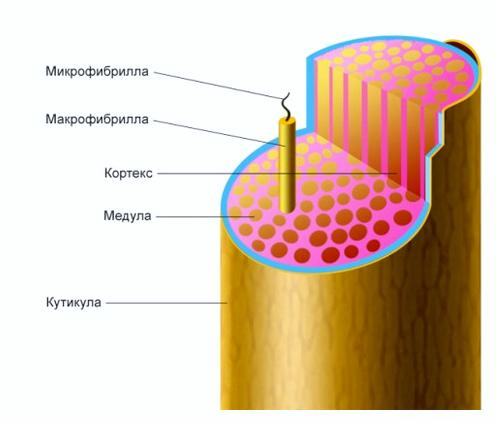На фото изображено строение волоска.