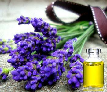На фото изображены цветки лаванды, из которых получают эфирное масло.
