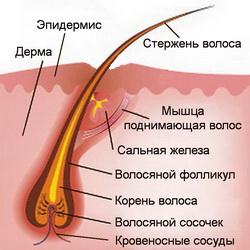 Питание каждого волоска происходит через кровеносные сосуды и поры кожи.