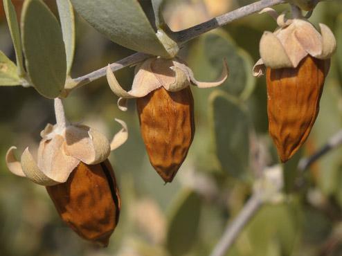 Плоды жожоба – источник коллагена и витаминов