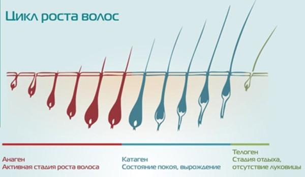 При отсутствии патологий цикл роста волос состоит из нескольких стадий.