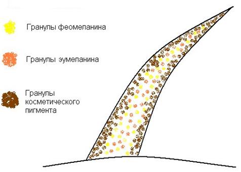 Распределение пигментов в окрашенных волосах