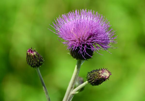 Репейник, или лопух, как его величают в народе, используется не только в уходе за волосами, отвар из растения помогает лечить заболевания печени и желудка