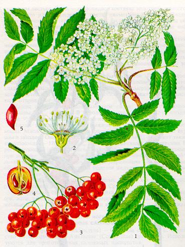 Рябина красная - богатейшая сокровищница витаминов.