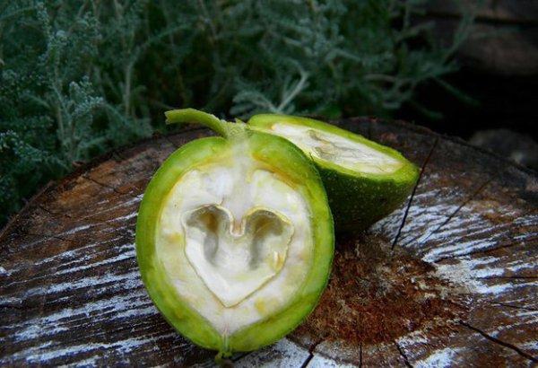 Зеленые плоды выглядят так